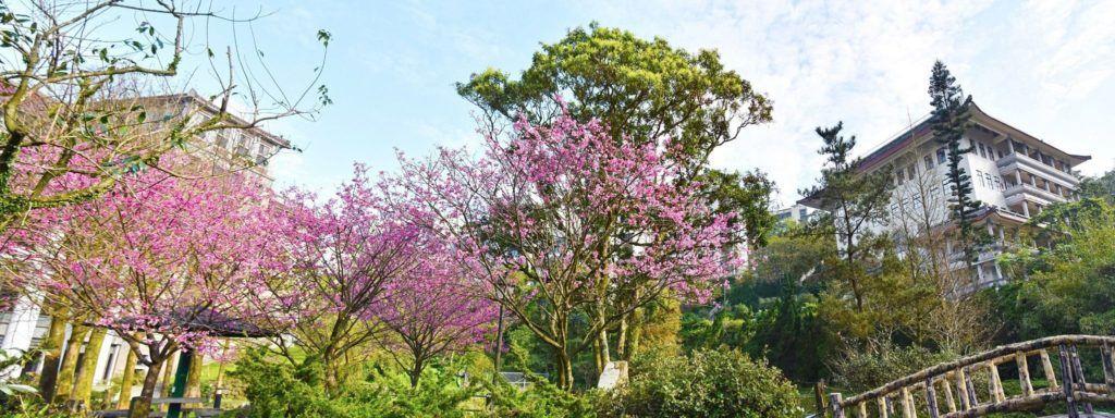 華梵大學校內山櫻花盛開,心鏡湖前的櫻花。 華梵大學/提供